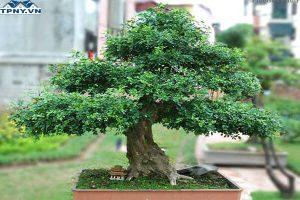 Cây nguyệt quế có ý nghĩa gì? Ứng dụng của loài cây này là gì?