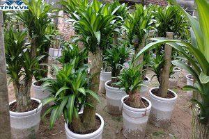 Ý nghĩa của cây thiết mộc lan là gì? Loại cây này có đặc điểm gì?